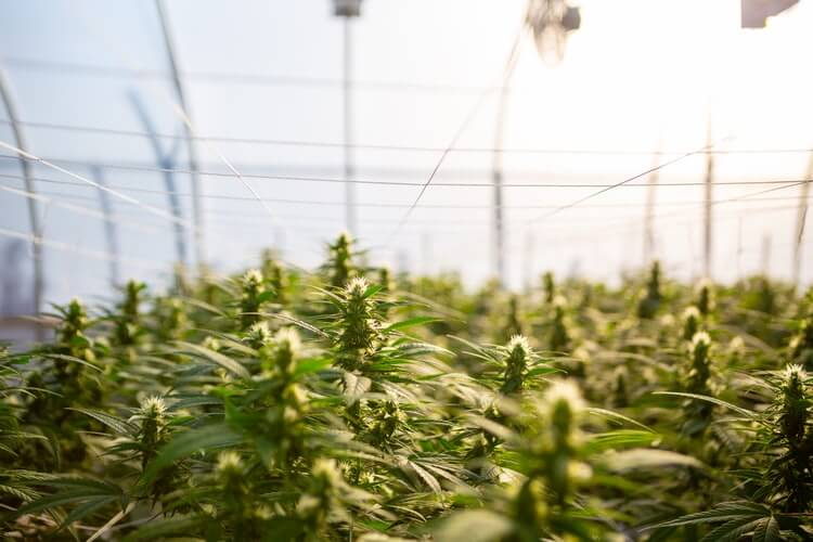 Industrial Hemp CBD: What it is and How it Differs from Cannabis Derived CBD